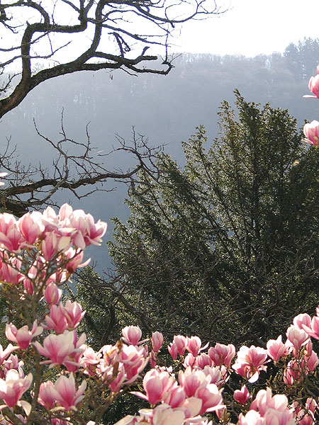 magnolie_03.jpg