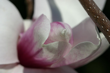 magnolie_04.jpg