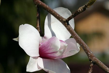 magnolie_05.jpg