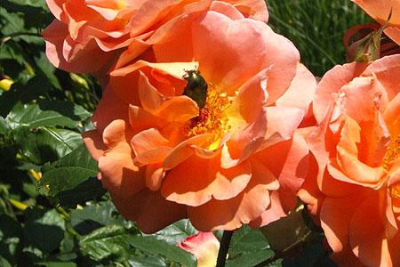 rose_kaefer.jpg