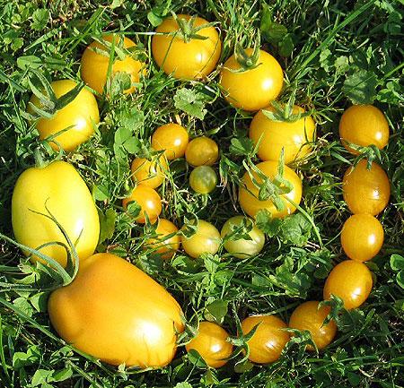 gelbe-tomatenschnecke.jpg