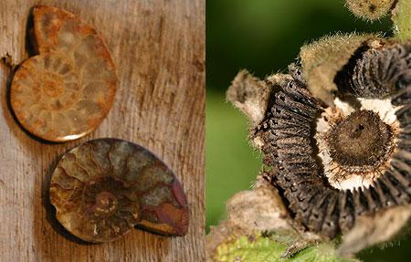 ammonit_02.jpg