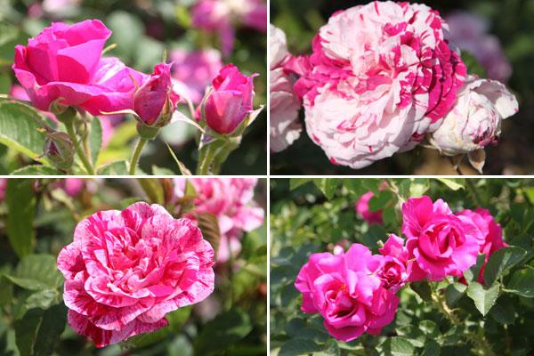 rosenfest_primavera